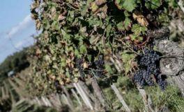 波尔多葡萄遭大规模盗采,作案者