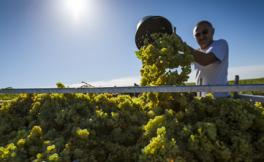 今年勃艮第产区的葡萄采收报告新鲜出炉