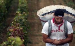 今年欧洲地区的葡萄采收产量减产14%