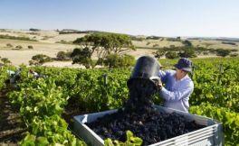 全球葡萄酒产量跌至近56年最低