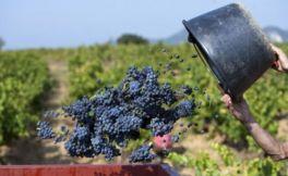 今年葡萄采收产量下降推高桶装葡萄酒价格上涨