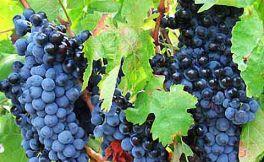 西拉葡萄在华盛顿州深受欢迎!