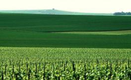 霞多丽:未来香槟产区的第二大葡萄品种