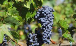 葡萄品种大全之常见的红葡萄品种介绍