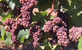 灰比诺取代霞多丽,成为俄勒冈州的重要白葡萄品种