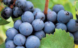 十种常见的葡萄品种介绍