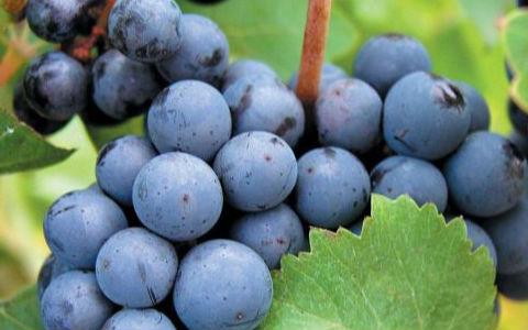 波尔多种植最广泛的品种——美乐