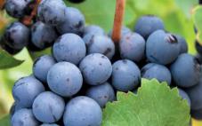 红葡萄品种之王——赤霞珠!原来赤霞珠红葡萄酒是这么来的