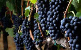 常见的几种酿酒葡萄品种介绍