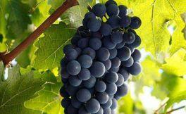 红葡萄酒品种之王——赤霞珠