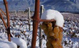 云南迪庆州打造冰葡萄产业