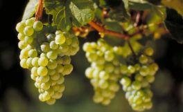 雷司令,完美的葡萄,完美的酒!
