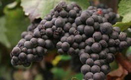 浅谈酿酒葡萄:黑皮诺