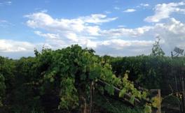中国葡萄酒需求热潮推动澳洲葡萄种植业繁荣发展