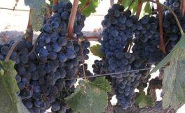 酿酒葡萄美乐对于波尔多的意义