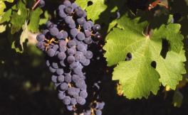 酿酒葡萄中的王者:赤霞珠