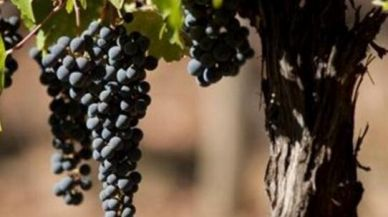 佳美娜,最美的葡萄品种!