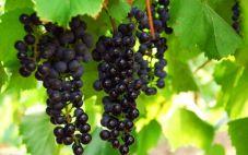为何葡萄酒中没有葡萄味?