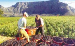评估:2018年南非葡萄酒将面临十多年来最低收成