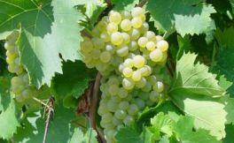 纳帕谷Theorem酒庄庄主购买23英亩的葡萄园来扩展葡萄园面积