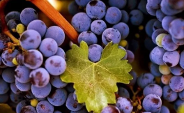 酿酒葡萄品种的重要意义
