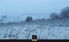 张祎:一场大雪之后的香槟葡萄园是这样的