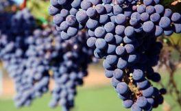 介绍两红两白葡萄品种