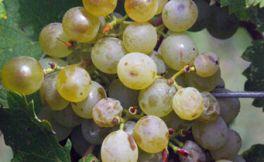 格鲁吉亚常见的6个本地葡萄品种