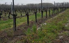 波尔多下雨延误葡萄园开展工作