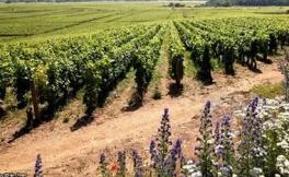 2017年勃艮第产区葡萄产量报告新鲜出炉