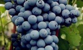 秦皇岛葡萄酒产区发布新款马瑟兰葡萄酒