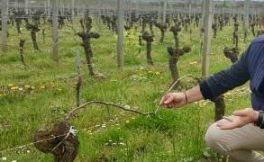 波尔多酿酒师认为2050年份的波尔多葡萄酒品质不怎么好
