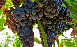 """曾经风靡全球的""""蓝仙姑""""葡萄酒"""