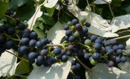 山葡萄红酒好喝吗?别具一格的山葡萄酒