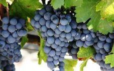 酿酒葡萄品种 波尔多的第三葡萄——品丽珠