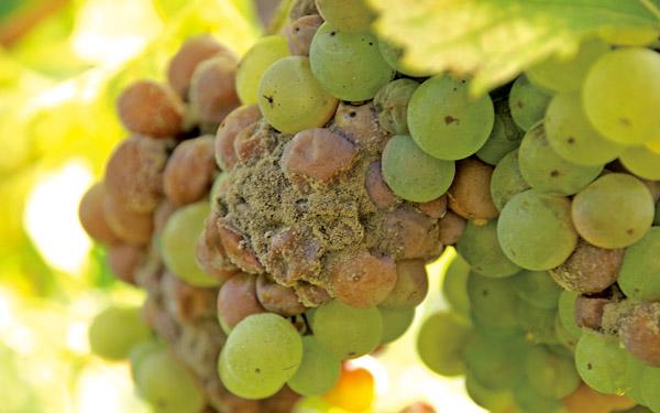 仙粉黛葡萄如何一步步成为加州著名葡萄品种