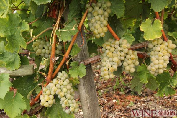 神秘的意大利葡萄品种