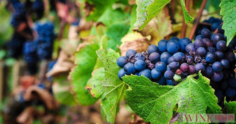 意大利葡萄酒既是艺术也是魅力