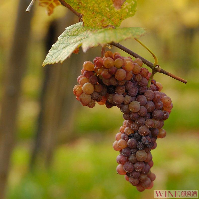 白葡萄酒也属于红葡萄酒吗?小编邀你解出谜团