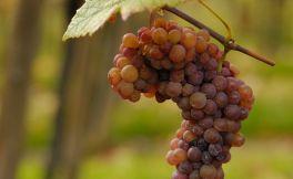 听说酿酒葡萄又甜又多汁不是每个人都可以吃,你知道吗?