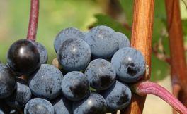 澳洲西拉葡萄酒曲折的历史发展