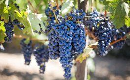 澳洲的葡萄酒怎么样 澳洲葡萄酒入门知识