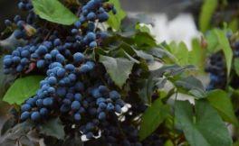 西班牙葡萄酒的骄傲:丹魄葡萄酒