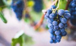 纳帕谷梅洛葡萄酒的供应指南
