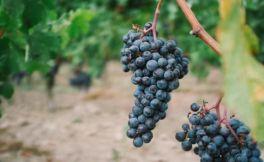 波尔多小维多葡萄酒指南