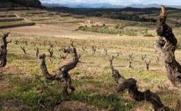 西班牙葡萄酒大师呼吁保护老藤葡萄园