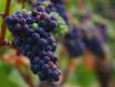 安妮·艾米葡萄园的白皮诺葡萄酒——Prismé