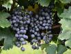 酒评:Trinchero Napa Valley 'Mario's Vineyard' Cabernet Sauvignon 2014