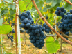 混酿葡萄酒产区一览