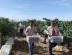 新疆焉耆县葡萄pk10赛车开奖园区10万亩酿酒葡萄进入采收期